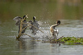 Eurasian coot (Fulica atra) couple attacking a great crested grebe (Podiceps cristatus) defending its nest, Alsace, France