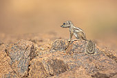 Barbary ground squirrel (Atlantoxerus getulus) on a rock in the desert, Morocco