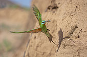 Blue-cheeked bee-eater (Merops persicus) in flight near its nest, Morocco