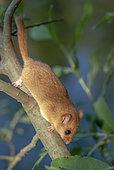 Hazel Dormouse (Muscardinus avellanarius) on a willow branch, Alsace, France