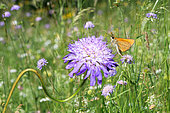 Small skipper (Thymelicus sylvestris) on Field Scabiosa (Knautia arvensis), Vosges du Nord Regional Nature Park, France