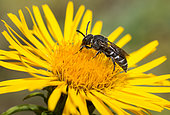 Cuckoo Bee (Dioxys tridentata) on Willowleaf Yellowhead (Inula salicina), Vosges du Nord Regional Nature Park, France