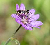Mining bee (Lasioglossum sp) on Hedgerow geranium (Geranium pyrenaicum), solitary bees, Vosges du Nord Regional Natural Park, France