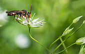 Long-horned Nomad Bee (Nomada hirtipes) female, solitary bees, Vosges du Nord Regional Natural Park, France