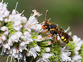 Nomad bee (Nomada zonata) on Mint (Mentha sp), Vosges du Nord Regional Natural Park, France