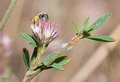 Sweat Bee (Nomioides minutissimus) on Clover (Trifolium sp), solitary bees, Vosges du Nord Regional Natural Park, France