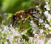 Chocolate Mining Bee (Andrena scotica) female on Mint (Mentha sp), solitary bees, Vosges du Nord Regional Natural Park, France