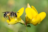 Wilke's Mining-bee (Andrena wilkella) female on Common Bird's-foot-trefoil (Lotus corniculatus), solitary bees, Vosges du Nord Regional Natural Park, France