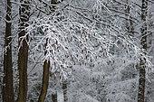 Aulne glutineux (Alnus glutinosa) chatons sous la neige, Parc naturel régional des Vosges du Nord, France