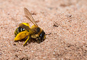 Hairy legged Mining Bee (Dasypoda hirtipes) female returning to her gallery buried in the sand, solitary bees, Vosges du Nord Regional Natural Park, France