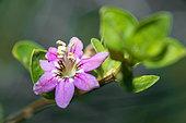 Goji flower (Lycium barbarum) native to China, Northern Vosges Regional Nature Park, France