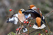 Hawfinch (Coccothraustes coccothraustes) males fighting on a branch and rose hips, Regional Natural Park of Northern Vosges, France