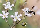 Mason wasp (Leptochilus regulus) on Baby's breath (Gypsophila sp), Vosges du Nord Regional Natural Park, France