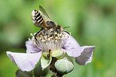 Leaf-cutting bee (Megachile pilidens) female on bramble, Mont Ventoux, Provence, France