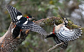 Great Spotted Woodpecker (Dendrocopos major) fighting on a branch, Regional Natural Park of Northern Vosges, France