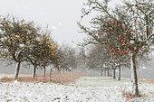 Snowstorm in a tall-stem orchard, Vosges du Nord Regional Natural Park, France