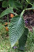 Brillantaisia (Brillantaisia owariensis) leaves in a private garden, Reunion