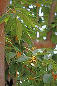 Baboul (Dillenia indica) en fleurs dans un jardin botanique, La Réunion