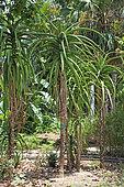 Pieds d'Aloès arborescent (Aloe arborescens) dans un jardin botanique, La Réunion