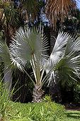 Palmier de Bismarck (Bismarckia nobilis) dans un jardin botanique, La Réunion.