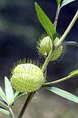 Fruits de Faux cotonnier (Gomphocarpus fruticosus) dans un jardin botanique, Conservatoire de Mascarin, La Réunion