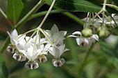 Fleurs de Faux cotonnier (Gomphocarpus fruticosus) dans un jardin botanique, Conservatoire de Mascarin, La Réunion