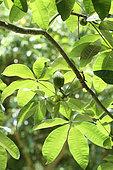 Money tree (Pachira glabra) in a private garden, Reunion
