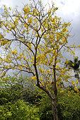 Golden shower (Cassia fistula) in bloom in a private garden, Reunion