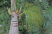 Bottle palm (Hyophorbe lagenicaulis) dans un jardin privé, La Réunion.