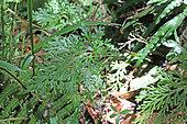 Spikemoss (Selaginella sinuosa) in the undergrowth, Reunion