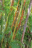 Palmier multipliant (Dypsis lutescens) dans un jardin botanique, La Réunion