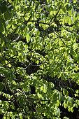 Feuillage d'un Kapokier (Ceiba pentandra) dans un jardin botanique, La Réunion