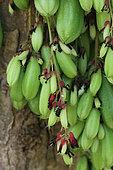 Flowers and fruits of Bilimbi (Averrhoa bilimbi) in a private garden, Reunion