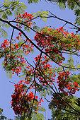 Floraison de Flamboyant (Delonix regia) dans un jardin botanique, La Réunion