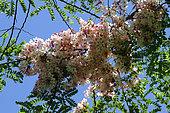 Apple Blossom (Cassia javanica) in bloom in a private garden, Reunion