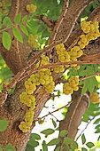 Otaheite gooseberry (Phyllanthus acidus) fruits in a private garden, Reunion