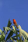Madagascar Red Fody (Foudia madagascariensis) male on palm tree, Reunion