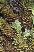 Watermoss (Salvinia adnata) in a private garden, Reunion