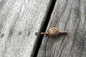 Garlic Snail (Oxychilus alliarius) in a private garden, Reunion Island