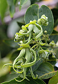 Ylang-Ylang flowers (Cananga odorata) in a private garden, Reunion