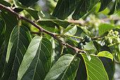 Ylang-Ylang fruits (Cananga odorata) in a private garden, Reunion