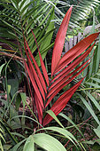 Blushing Palm (Chambeyronia macrocarpa) in a botanical garden, Reunion Island
