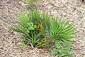 Saw Palmetto (Serenoa repens) in a botanical garden, Reunion