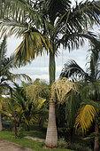 Myola Palm (Archontophoenix myolensis) in a botanical garden, Reunion