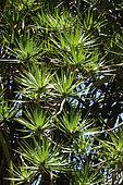 Bois de chandelle (Dracaena reflexa) dans un jardin botanique, La Réunion