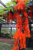 New Guinea Creeper (Mucuna warburgii) in bloom in a botanical garden, Reunion