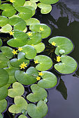 Yellow water snowflake (Nymphoides thunbergiana) in bloom in a botanical garden, Reunion