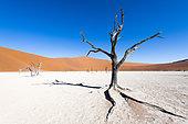 Dead Acacias at Dead Vlei, Sossusvlei, Namib, Namibia