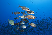 Shoal of Cottonmouth Jack, Uraspis secunda, Apataki Atoll, Tuamotu Archipel, French Polynesia