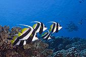 Shoal of Longfin Bannerfish, Heniochus acuminatus, Fakarava, Tuamotu Archipel, French Polynesia
